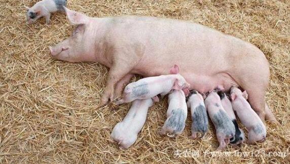 怎么判断母猪是否难产,三种方法辨别母猪难产(图1)