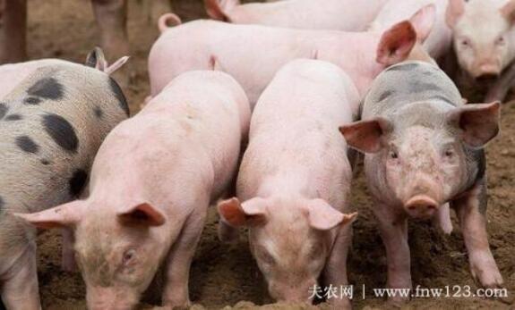 怎么判断母猪是否难产,三种方法辨别母猪难产(图2)
