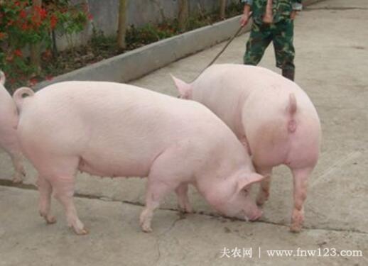 怎么判断母猪是否难产,三种方法辨别母猪难产(图3)
