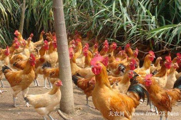 三黄鸡的养殖周期4