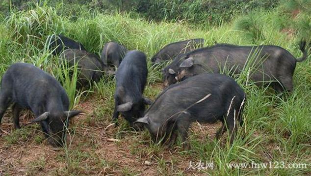 藏猪简介,产于青藏高原的优质黑猪(1)