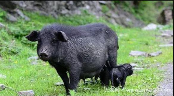 藏猪简介,产于青藏高原的优质黑猪(2)