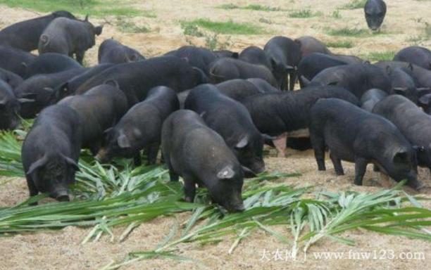 湘西黑猪简介,产于湘西的优质黑猪品种(1)