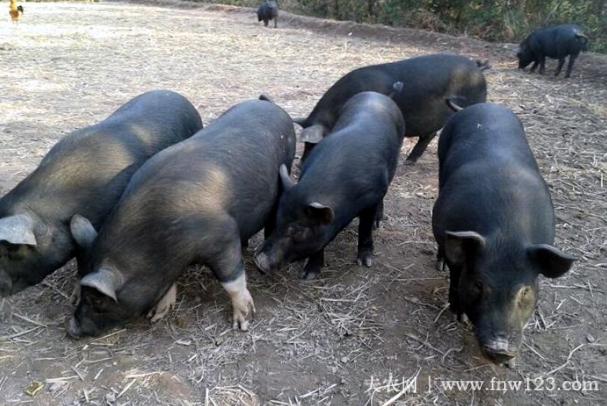 湘西黑猪简介,产于湘西的优质黑猪品种(2)