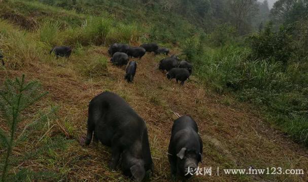 湘西黑猪简介,产于湘西的优质黑猪品种(3)