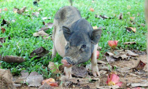五指山猪简介,产于海南五指山的优质黑猪(1)