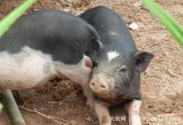 五指山猪简介,产于海南五指山的优质黑猪(3)