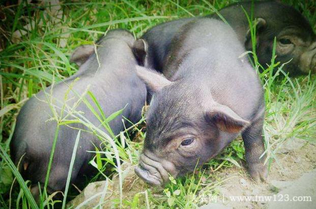 珠江香猪简介,始自明朝的珍稀香猪品种(1)