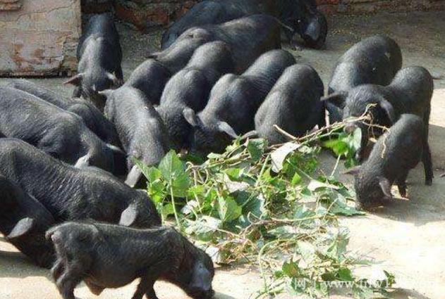 珠江香猪简介,始自明朝的珍稀香猪品种(3)