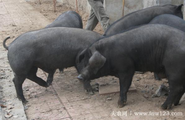 沂蒙黑猪简介,沂蒙地区的特有黑猪品种(1)