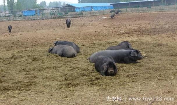 沂蒙黑猪简介,沂蒙地区的特有黑猪品种(2)