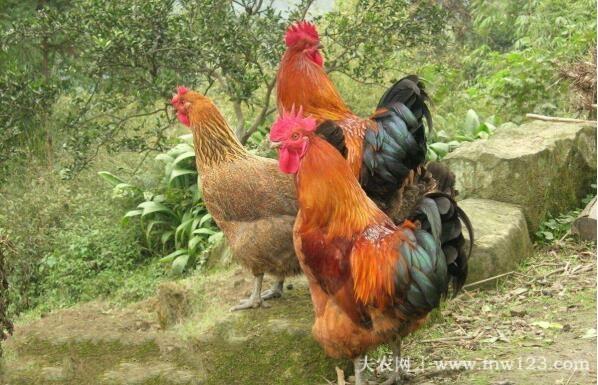 土鸡的饲养密度,散养鸡一亩多少只(3)