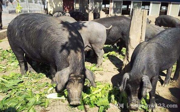 """里岔黑猪品种简介,专家眼中""""国宝""""级的地方猪种(1)"""