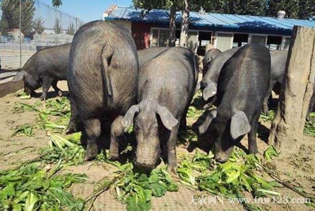 """里岔黑猪品种简介,专家眼中""""国宝""""级的地方猪种(2)"""