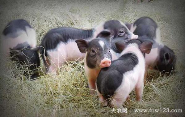 香猪的食物有哪些?