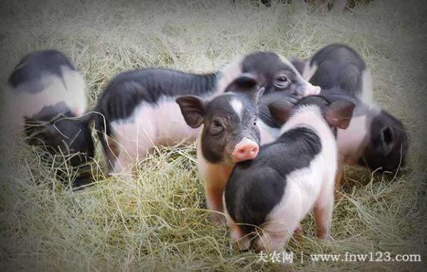 小香猪长不大么,小香猪为什么长不大