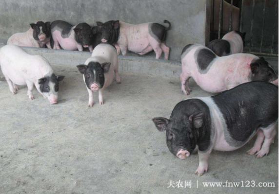 微型香猪的养殖技术简介