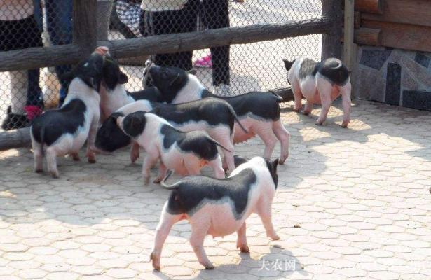 小香猪市场价格多少(图1)