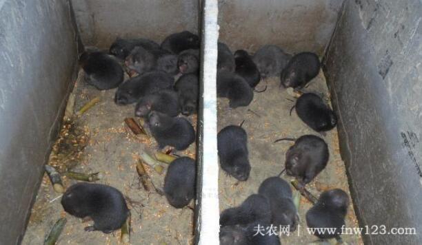 养殖竹鼠的常见问题(5)
