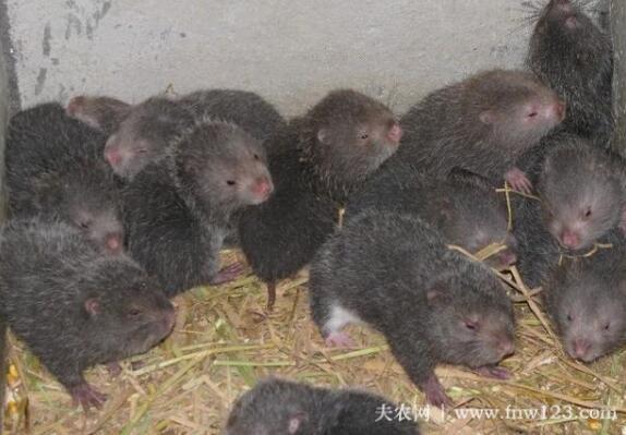 竹鼠怎么配种,竹鼠配种方法详解(图1)