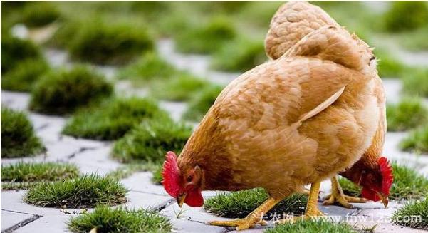 三黄鸡的养殖周期3
