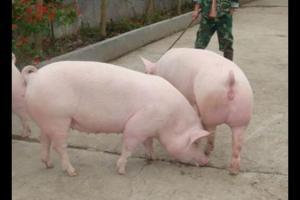 空怀母猪的饲喂技术要点