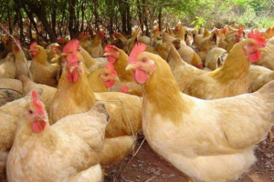 三黄鸡的营养价值与食用功效,常吃三黄鸡身体好