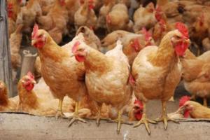 """浦东鸡简介,上海本地土鸡品种,人称""""九斤黄"""""""