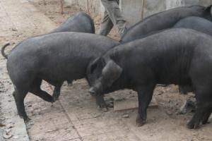 沂蒙黑猪简介,沂蒙地区的特有黑猪品种