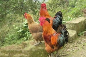 土鸡的饲养密度问题解答
