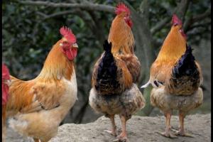 500只土鸡的养殖利润多少,算一算就知道