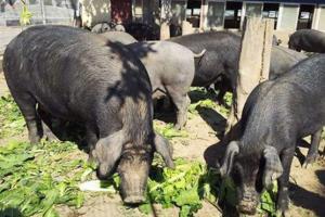 """里岔黑猪品种简介,专家眼中""""国宝""""级的地方猪种"""
