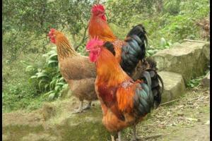 土鸡各生长阶段的饲养配方