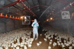 养鸡场怎么消毒,养鸡场三种消毒方法