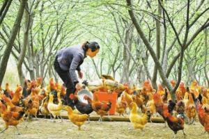 土鸡场地消毒的注意事项
