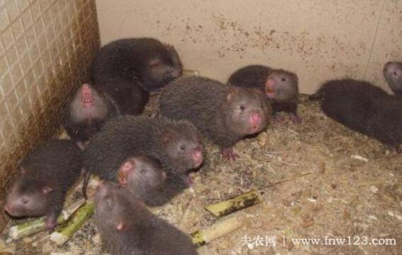 竹鼠的常用饲料配方(1)