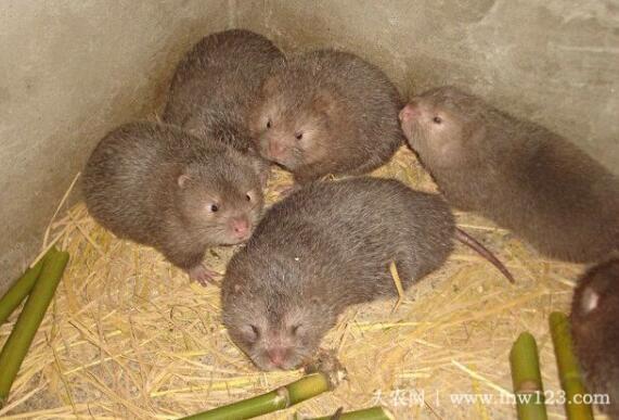 竹鼠感冒怎么办,养竹鼠防治感冒的方法(1)