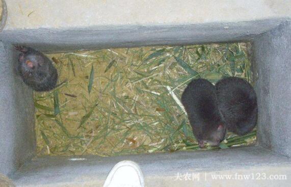 母竹鼠吃仔问题的应对方法(1)