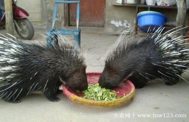 豪猪不同生长阶段饲料的管理方法(3)