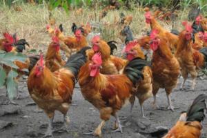 土鸡品种:南丹瑶鸡,广西四大名鸡之一
