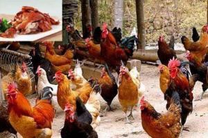 土鸡品种:河南卢氏鸡,适合山地放养