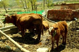 肉牛养殖场的建设要求,养牛场的建设规范