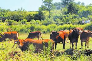 放牧养牛的注意事项,四季放牧的注意事项