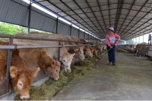 养牛时给牛消毒的注意事项