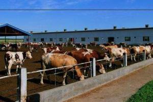 养牛常见的一些疾病问题