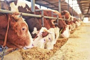 牛得了乳房水肿怎么办,牛乳房水肿的治疗方法