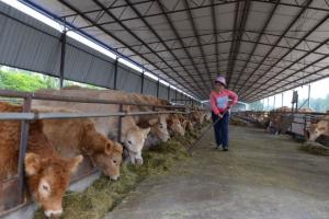 牛感冒的病因及防治方法