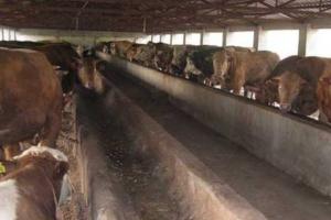 牛食道梗塞治疗与预防措施