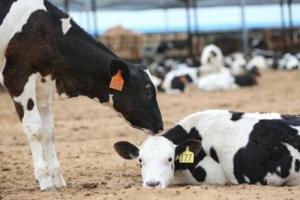 牛肠道疾病与中毒的防治措施