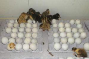 提高鸭子种蛋孵化率的三种方法